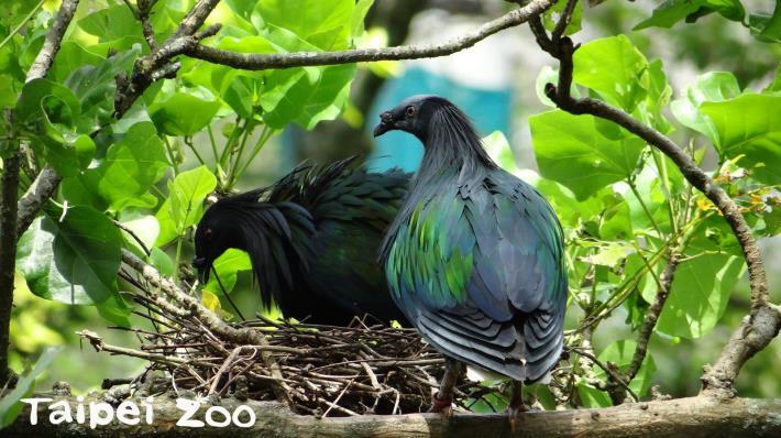每到繁殖季節,綠簑鴿的公鳥就頻頻以鞠躬的動作向母鳥示愛,追求行動可以持續好幾天