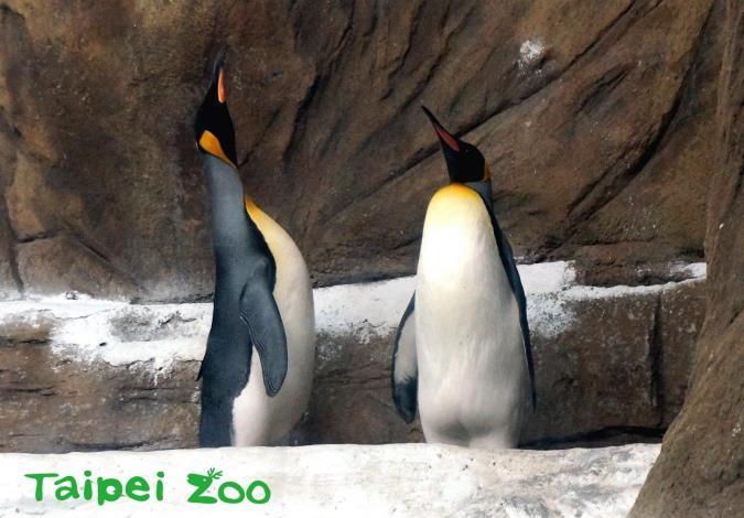 國王企鵝會伸長脖子,將頭側向一邊,再慢慢地回復到原來的姿勢,這正是表達「選我!選我!選我!」