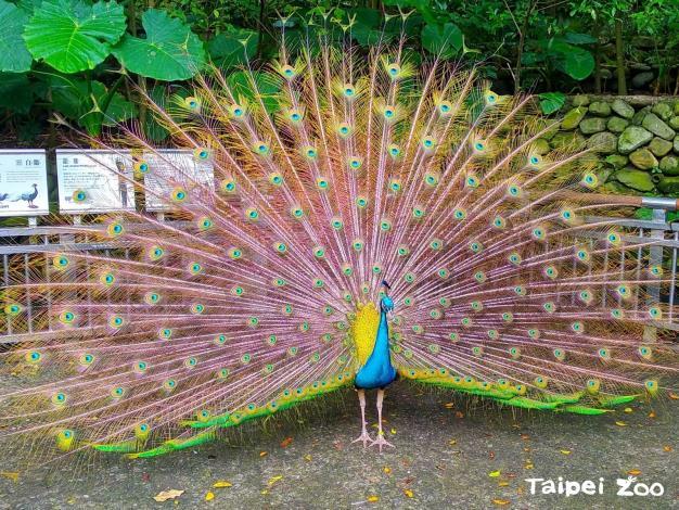 雄孔雀張開炫目的尾上覆羽,還不時的抖動,藉此吸引心儀的母孔雀
