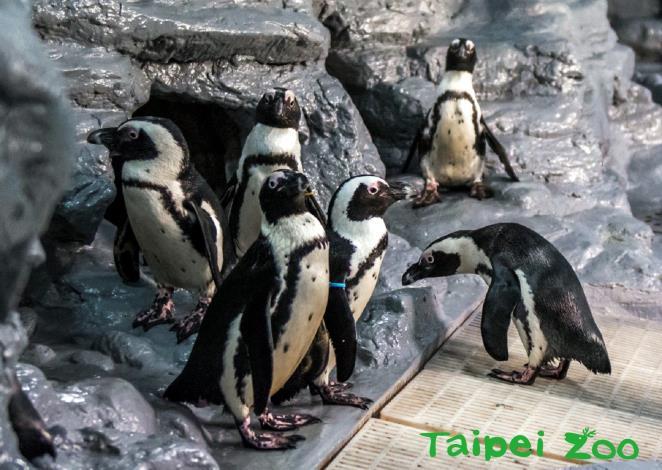 黑腳企鵝到了繁殖季節時,會抖動頭部、尋找喜歡的洞穴
