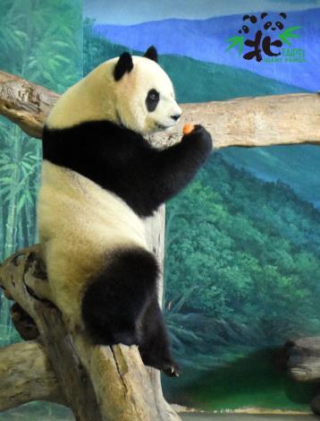 大貓熊館這幾天常常只有可愛的「圓仔」獨挑大梁