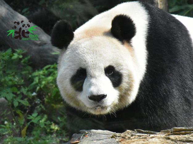 從各項行為指標及荷爾蒙指數等專業數值的研判,大貓熊「圓圓」於3月2日已經達到發情高峰