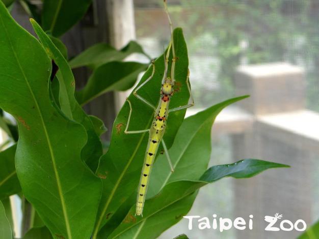 昆蟲館看不到昆蟲?人家是偽裝大師啦!