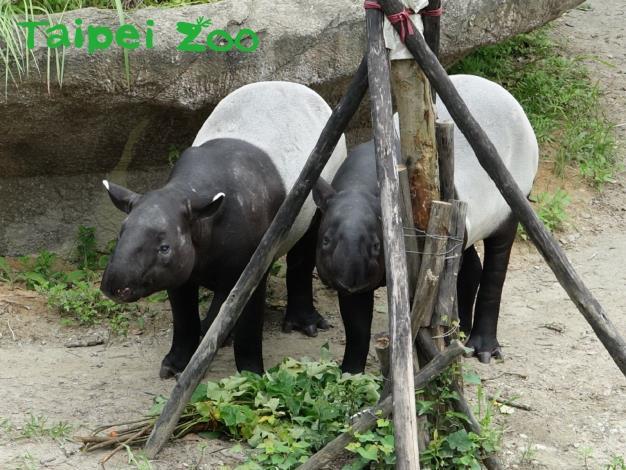 馬來貘家有喜事—「貘克」、「貘芳」交往中