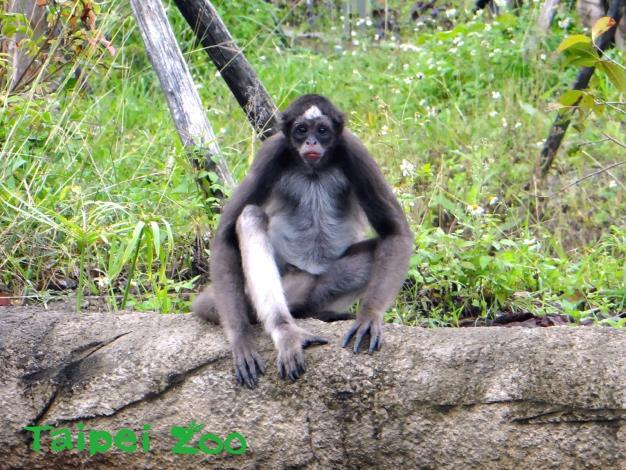 棕蜘蛛猴有「屁孩」行為~大食蟻獸姊姊沒在怕!