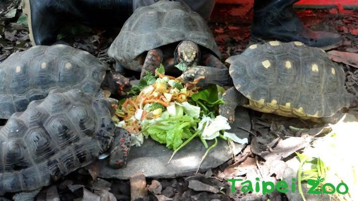 象龜們開心享用大餐