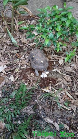 紅腿象龜生蛋(鄭陳崇攝)1