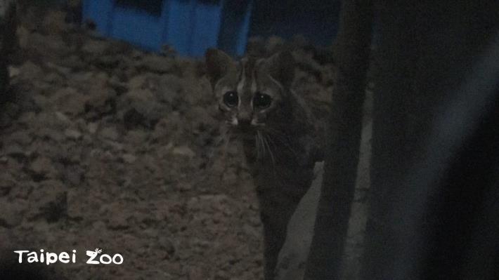 石虎喜歡在晨昏和夜晚活動
