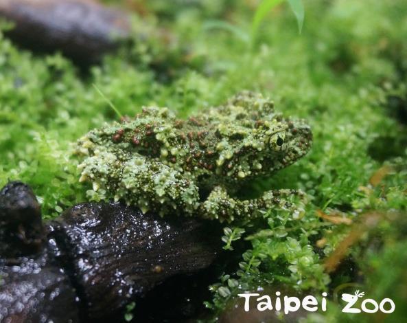 「苔蘚蛙」身上布滿像苔蘚般的青色、綠色或咖啡色突起物,看起來就跟石頭上的苔蘚一模一樣