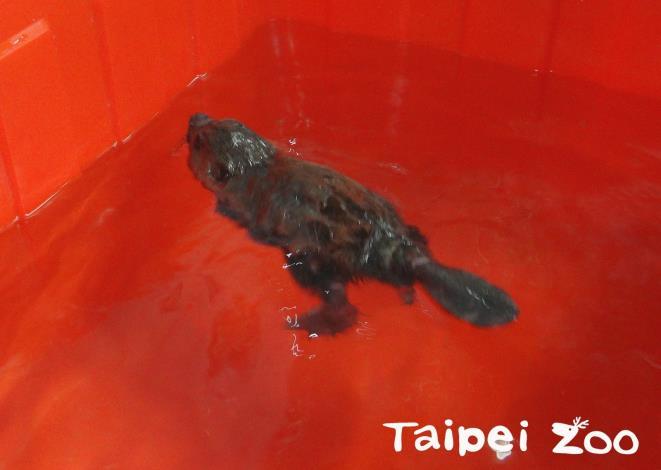 河狸寶寶在保育員準備的水桶中練習游泳
