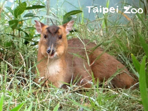 臺灣山羌兩頰鼓起、嘴巴快速的咀嚼,代表牠們正在「反芻」