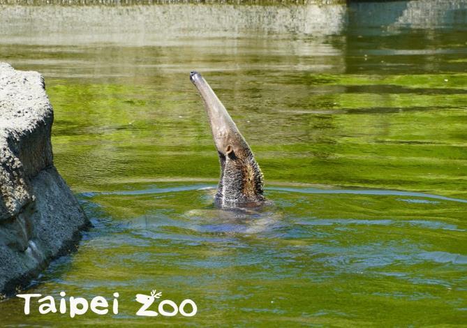 大食蟻獸是游泳高手,也很喜歡洗澡