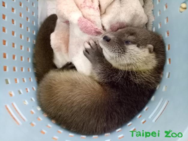 歐亞水獺寶寶飲食方面已逐漸適應
