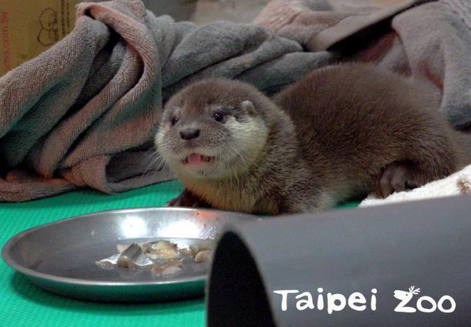 保育員特別準備魚片,提供給歐亞水獺寶寶