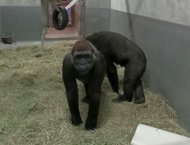 金剛猩猩美女今天亮相