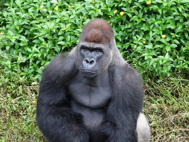 期盼雄性金剛猩猩「迪亞哥」能順利獲得兩隻金剛猩猩美女的青睞.JPG