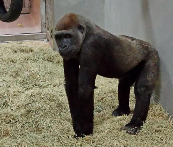 兩隻母金剛猩猩同為2011年出生