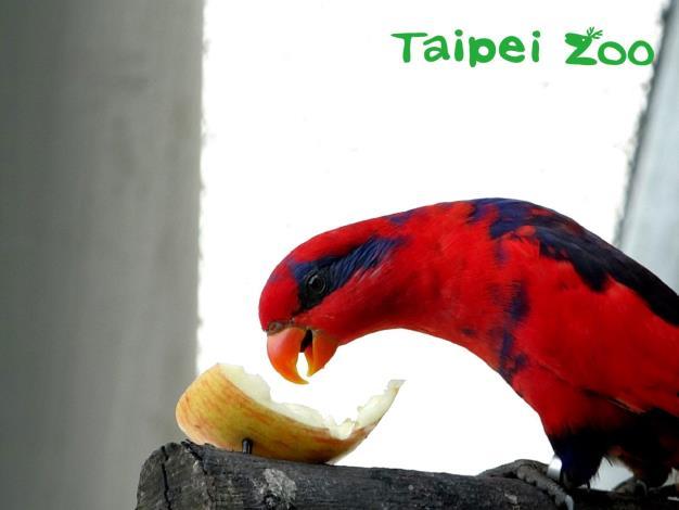 紅藍吸蜜鸚鵡享用蘋果