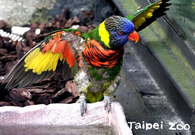 虹彩吸蜜鸚鵡玩水、展翅