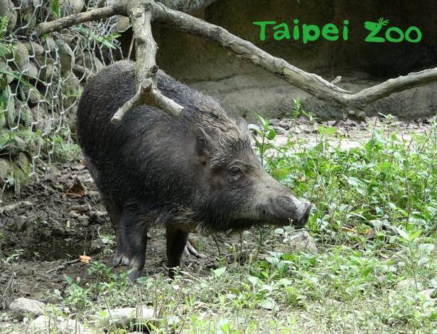 臺灣野豬在野外環境時,需要提高警覺才得以生存,民眾若在野外遇到牠們,可要三十六計走為上策啊 !