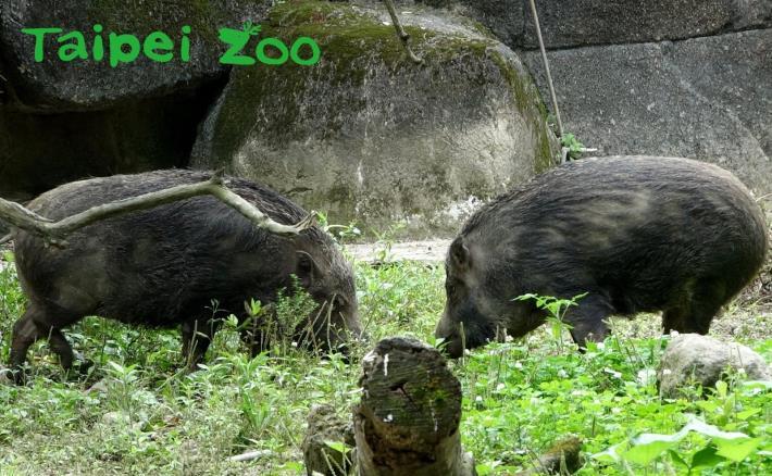 臺灣野豬喜歡拱土找尋可以吃的食物