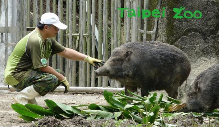 面對個性迴然不同的「豬隊友」們,保育員又該如何接招呢?