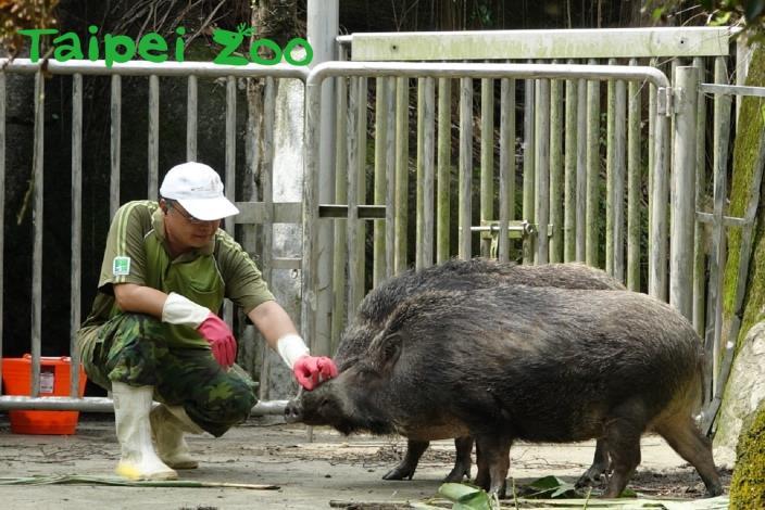 保育員使出「愛的摸摸」討臺灣野豬歡心