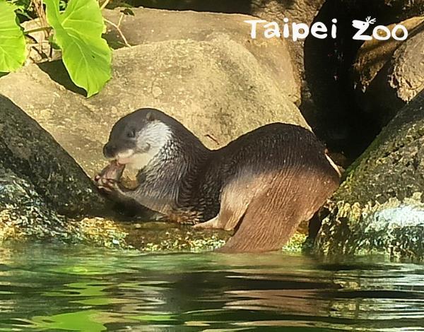 久違的歐亞水獺「大金」近期在臺灣動物區和大家見面囉!