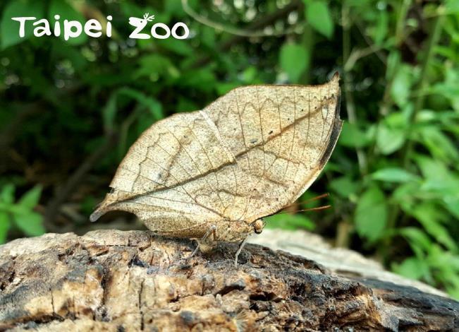 臺北市立動物園昆蟲館裡的枯葉蝶,正是以成蝶形態越冬的代表