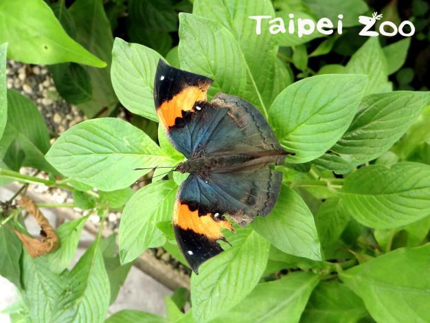 枯葉蝶張開翅膀曬太陽時色彩鮮艷美麗