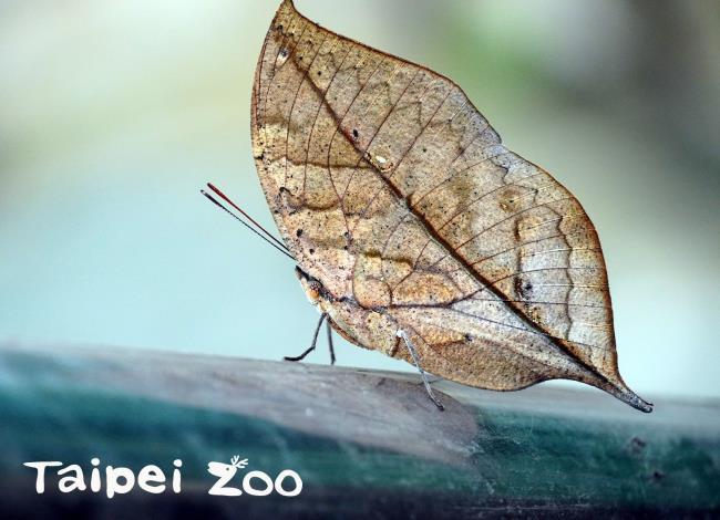 枯葉蝶有一定的領域性,只要其中一隻路過其他個體的領域,就容易遭到驅趕