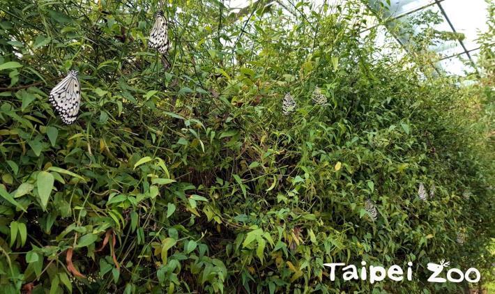 入冬以來最冷的寒流卻在1月底造訪了臺灣,連圈養環境下的蝴蝶,也冷到無法動彈