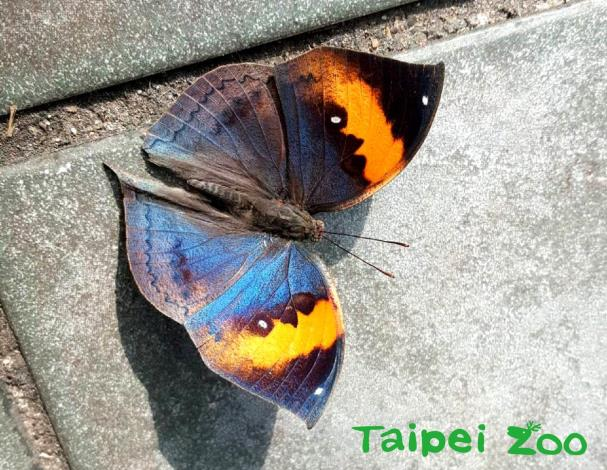 以成蝶度冬的蝴蝶,也必須曬太陽暖身,或是震動翅膀藉以提高體溫