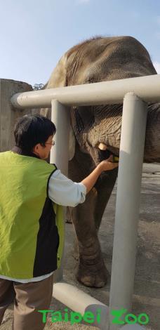 抽血完畢獸醫師也送上食物獎勵非洲象乖乖配合(方建華攝)