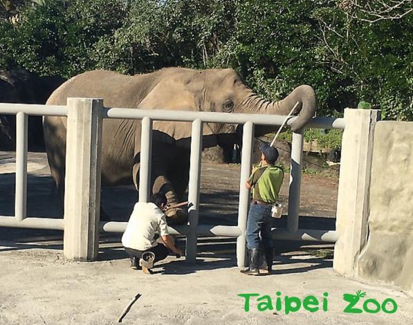 臺北市立動物園的非洲象戶外活動場新教室正式啟用(高雋攝)