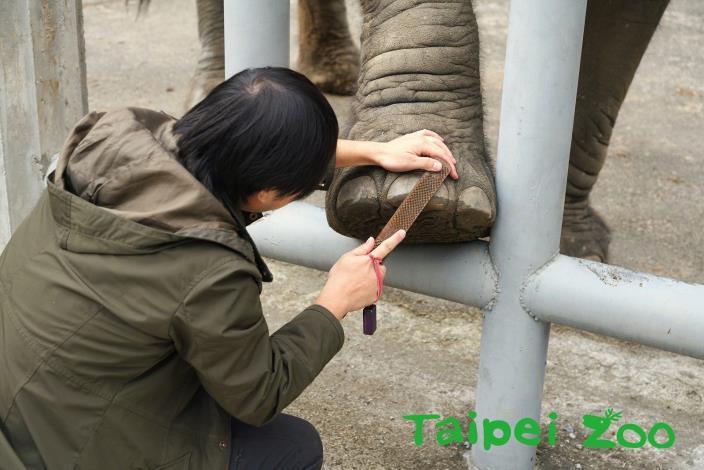 非洲象依照保育員的指示抬腳、修蹄(詹德川攝)