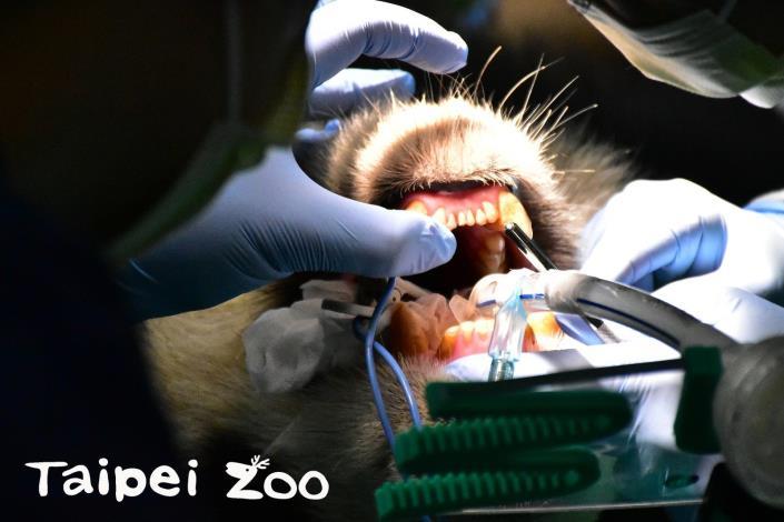 趁著麻醉的機會,獸醫師也為大貓熊「圓圓」仔細的檢查牙齒
