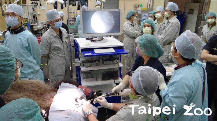 臺北市立動物園分別在2月26日下午、2月27日為大貓熊「圓圓」進行人工授精