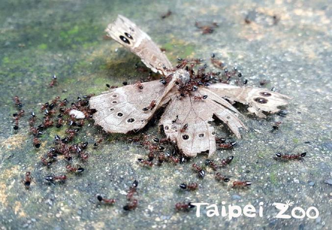懸巢舉尾蟻合力將蝶的屍體搬回巢內