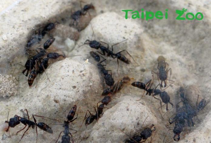 高山鋸針蟻
