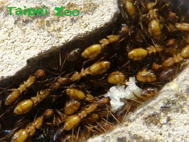 高雄巨山蟻