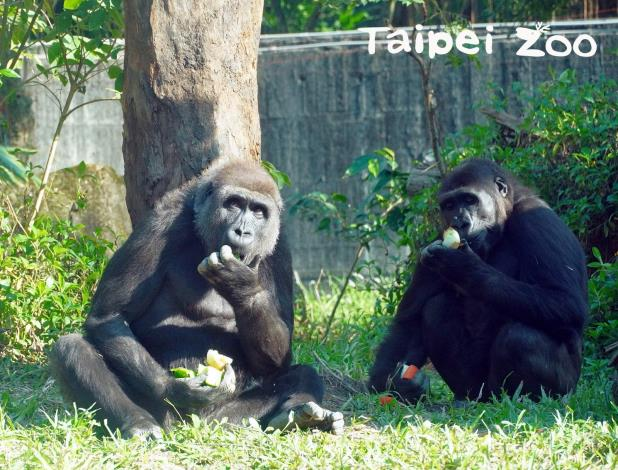 初次接觸「山羌母女檔」的母金剛猩猩「Tayari」和「Iriki」,跟牠們的相處也還算和平