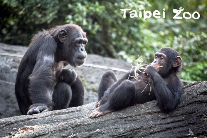 黑猩猩雖然也是以植物為主要的食物攝取來源,但如果有機會還會攝取一些來自小型動物的蛋白質