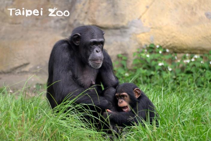 在野外的研究中,也曾觀察到黑猩猩會有群體狩獵的行為