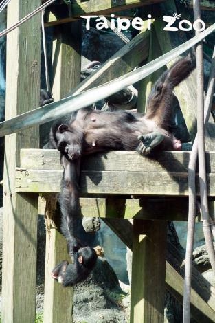 黑猩猩身手靈活