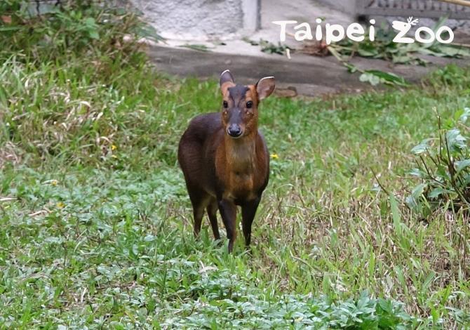 金剛猩猩家族的戶外活動場中,偶爾能讓遊客驚鴻一撇、穿梭在草叢中的山羌