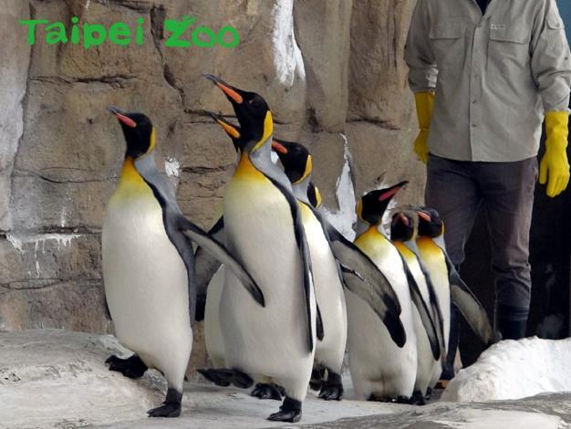 大家在上午900-930之間來到企鵝館,就能看到國王企鵝們在保育員的陪伴下一起努力「晨走」的可愛模樣