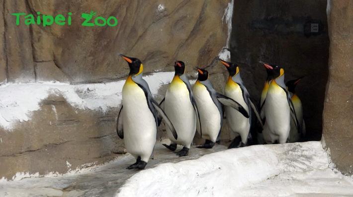 國王企鵝每天早上「晨走特訓」,目的是為了增進體力、強健腳力