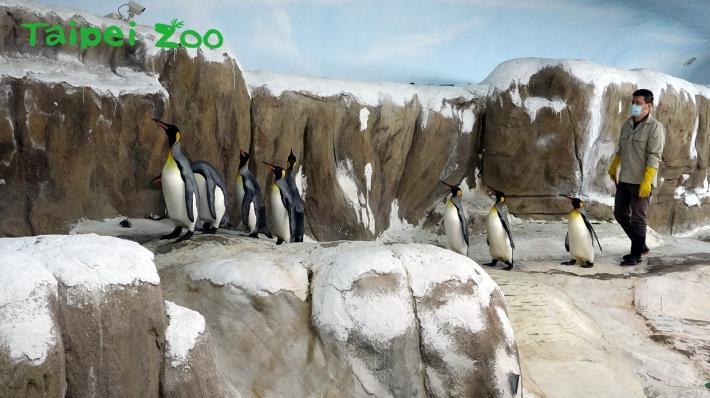 為了提高繁殖成功率,從4月中開始,保育員為國王企鵝們進行每日30分鐘的「晨走特訓」