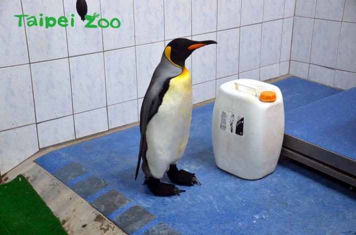 動物園與廠商合作,使用3D列印技術,製作出完全符合企鵝腳型的特製「防水鞋套」